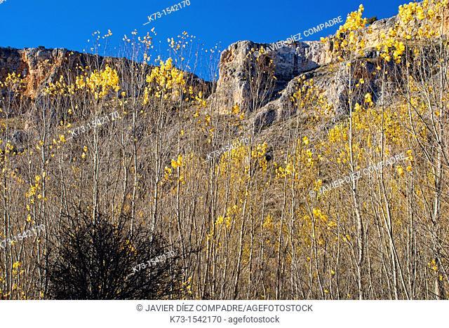 Black Poplars (Populus Nigra). Hoces del Riaza Natural Park. Maderuelo. Segovia province. Castilla y Leon Spain