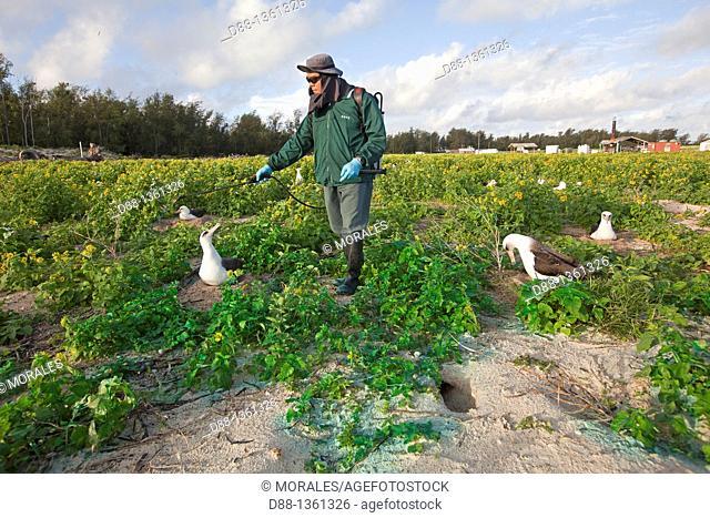 Hawaï , Midway , Sand Island , Laysan Albatross ,  Phoebastria immutabilis , surrounded by Golden Crown-beard Verbesina encelioides