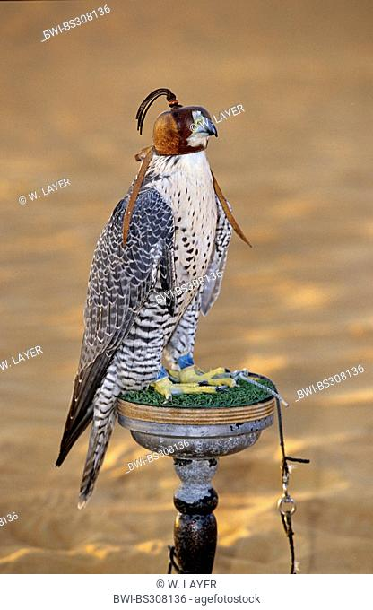 gyr falcon (Falco rusticolus), with hood sitting on observation point, United Arab Emirates