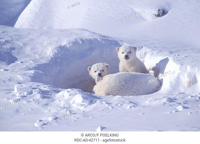 Polar Bears female with cubs 4 weeks Churchill Manitoba Canada Ursus maritimus Thalassarctos maritimus Arctic