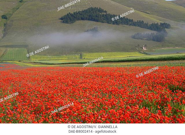 View of the Italy-shaped fir wood from the poppy fields (Papaver rhoeas) of Pian Grande, near Castelluccio di Norcia, Monti Sibillini National Park, Umbria