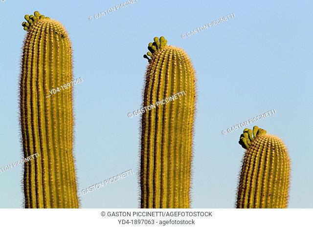 Three Giant Saguaros Carnegiea gigantea, Saguaro National Park, Sonora Desert, Arizona, Tucson, USA