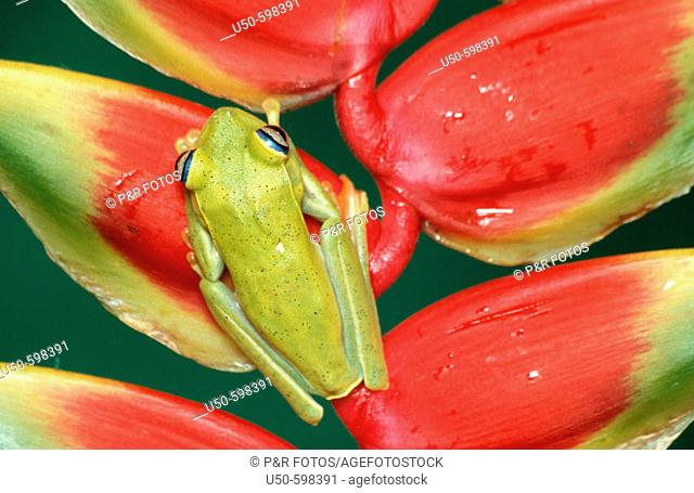 Hyla albomarginata on Heliconia rostrata, Treefog on Heliconia, Hylidae / Musaceae (Heliconiaceae),  Guarapari. Espirito Santo. Brazil