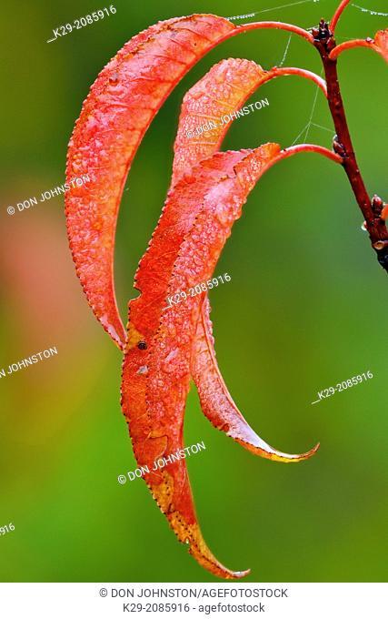 Pin cherry (Prunus pensylvanica) Autumn leaves with raindrop, Greater Sudbury (Lively), Ontario, Canada
