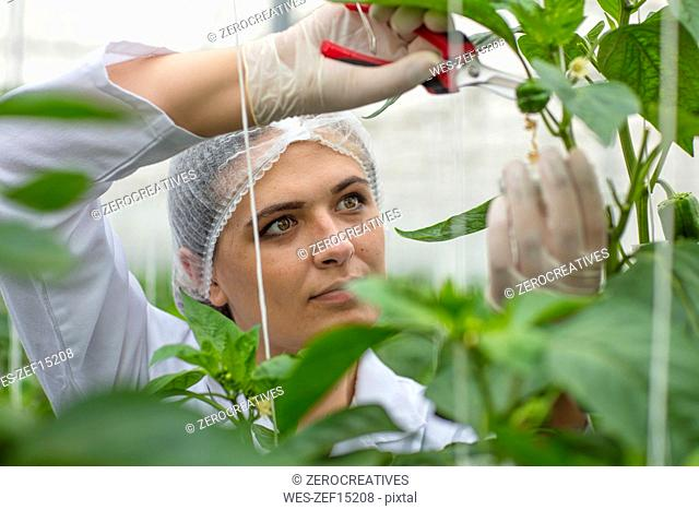Young woman working in greenhouse, pruning vegetable plants