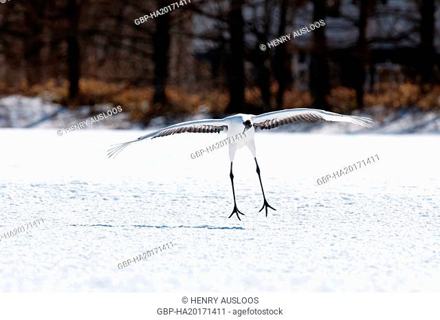 Japanese crane, Red-crowned crane (Grus japonensis) landing, Japan