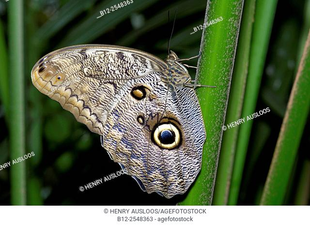 Owl Butterfly (Caligo eurilochus), Costa Rica