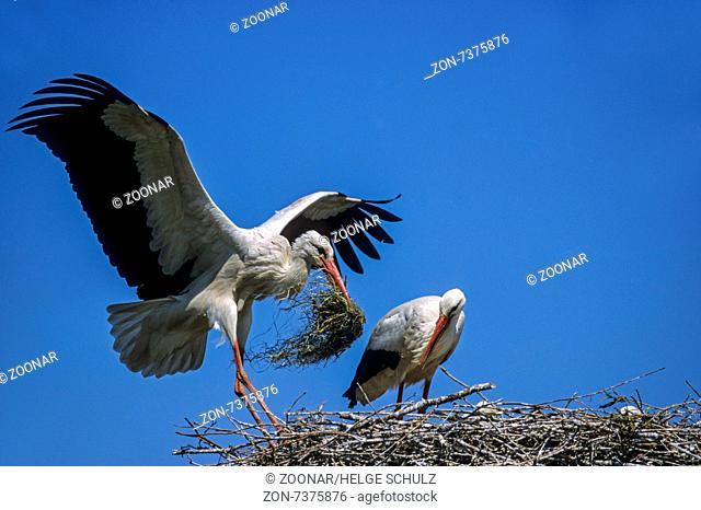 White Stork lands with nesting material on nest