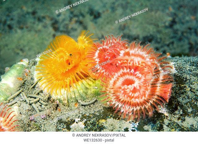 calcareous tubeworm, serpulid tubeworm, fanworm, or plume worm (Serpula columbiana) Sea of Japan, Far East, Primorsky Krai, Russian Federation