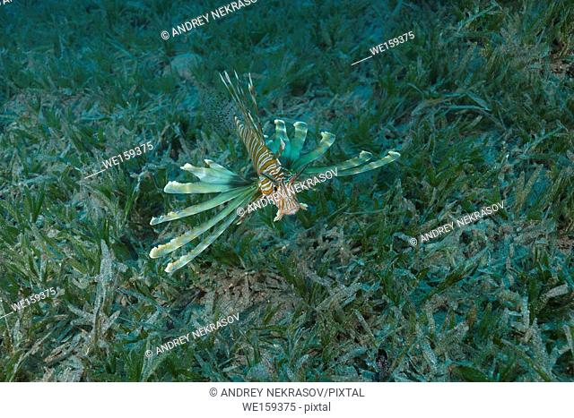 poisonous fish Red Lionfish(Pterois volitans) swim over bottom with sea grass in shallow water