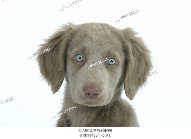 Long-haired, Weimaraner, puppy, 10, weeks