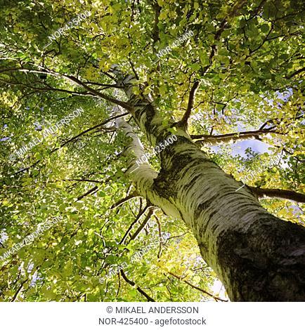 A birch  Sweden