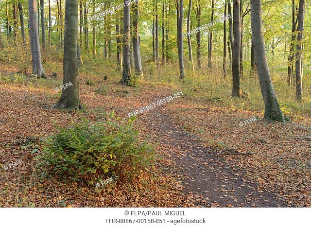 Path through deciduous woodland consisting largely of Common Beech (Fagus sylvatica), Newfield Plantation, Leeds, West Yorkshire, England, November