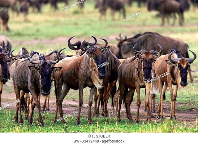 Eastern White-bearded Wildebeest (Connochaetes taurinus albojubatus), migrating herd, Kenya, Masai Mara National Park