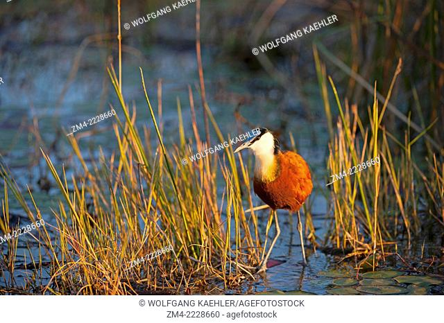 African jacana (Actophilornis africanus) looking for food on floating vegetation at the Vumbura Plains in the Okavango Delta in northern part of Botswana