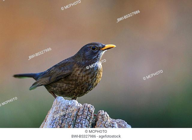blackbird (Turdus merula), female sitting on a tree snags, Germany