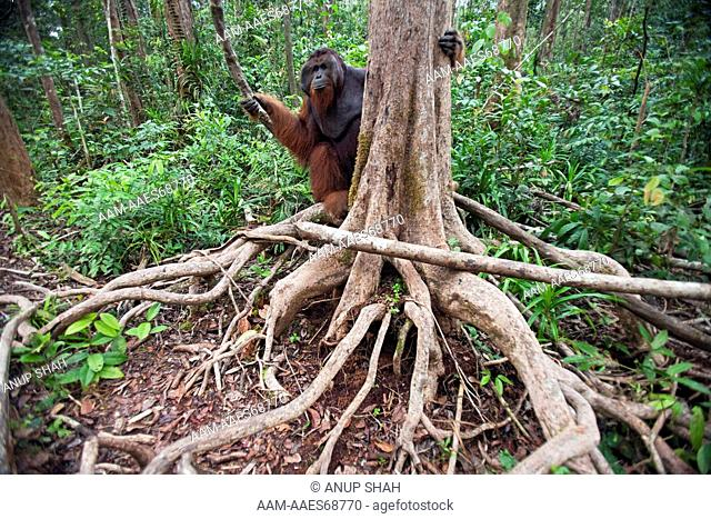 Bornean Orangutan Mature Male 'Tom' Sitting On A Fallen Branch In The Forest - Wide Angle Perspective (Pongo Pygmaeus Wurmbii)