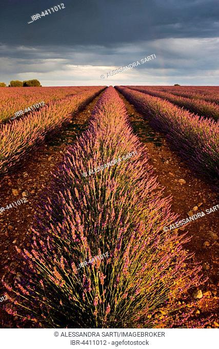 Blooming lavender (Lavandula angustifolia) field, rainbow, Plateau de Valensole, Alpes-de-Haute-Provence, Provence-Alpes-Côte d'Azur, France