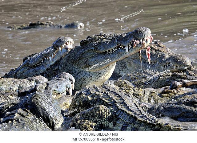 Nile Crocodile (Crocodylus niloticus) group feeding, Lake Ndutu, Serengeti National Park, Tanzania
