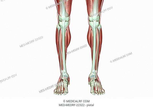 The musculoskeleton of the legs