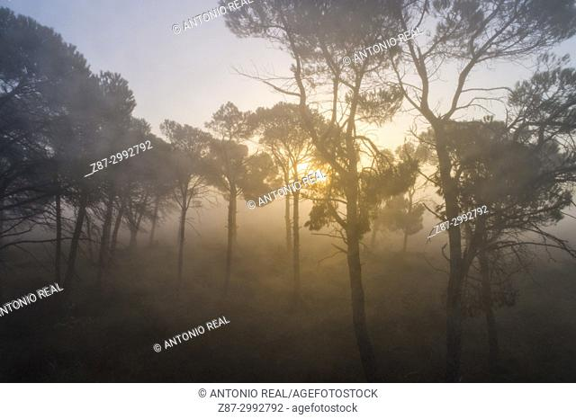 Stone pine forest (Pinus pinea) and fog. Almansa. Albacete province. Spain