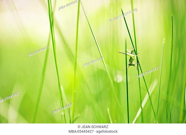 Grasshopper at blade of grass