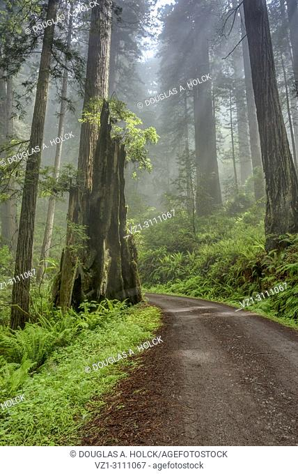 Shine shines through clouds on Cal Barrel Road in Prarie Creek Redwoods State Park, California, USA