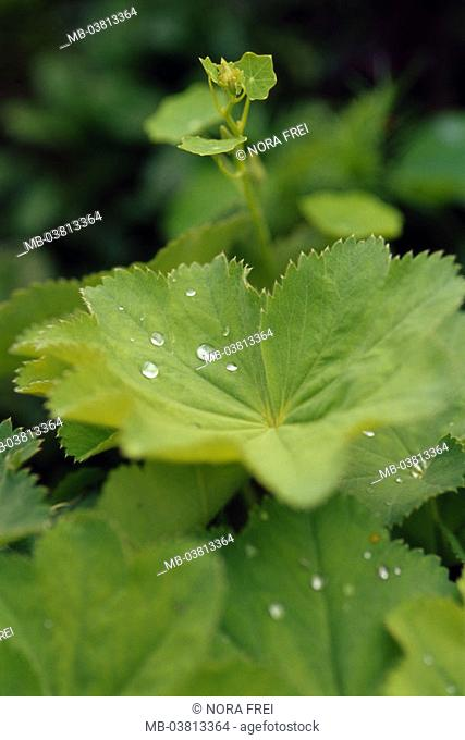 Lion's foot, Alchemilla spec., abandoned, water drops, dew,  Plants, fixed plants, rose plants, herb, medicinal herb, remedies, natural remedies, Marie coat