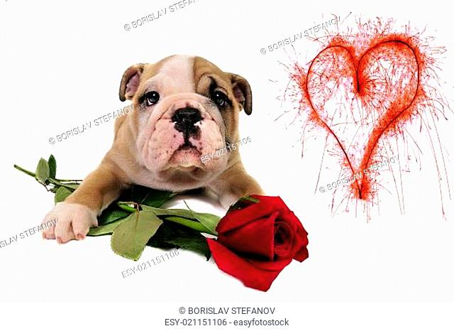 English bulldog puppy with valentine rose
