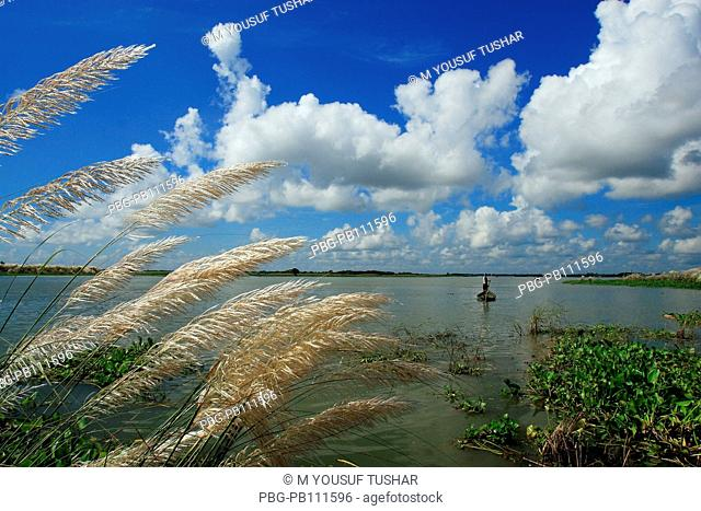 Catkins or Kashful are usually seen along the river banks during autumn, Bangladesh