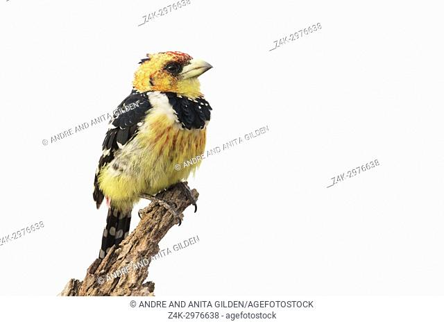 Crested barbet (Trachyphonus vaillantii) perched on tree trunk, Kruger National Park, South Africa