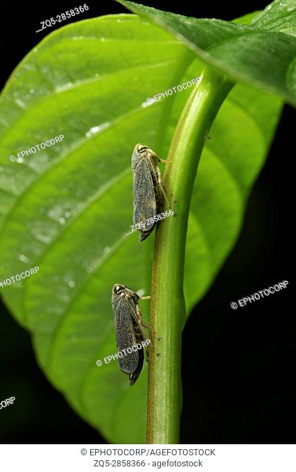 Two insects in line, Aarey Milk Colony , INDIA
