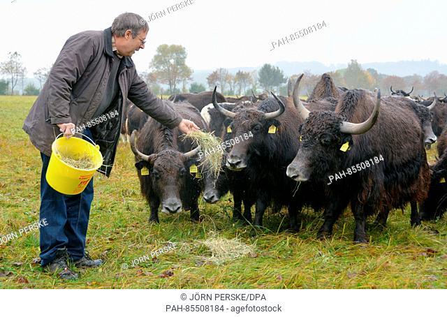 "Organic farmer and Yak breeder Hans Rueffer feeds his Yak """"Nano"""" on a pitch near Schluechtern, Germany, 25 October 2016"