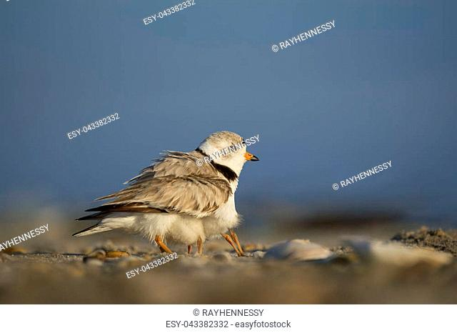 Baby Piping Plover chicks hide underneath of an adult trying to stay safe on a sandy beach one sunny morning