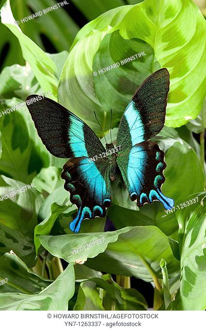 Green swallowtail butterfly Graphium weiskii