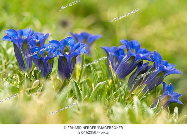Stemless gentian (Gentiana acaulis), Seiser Alm, South Tyrol, Italy, Europe