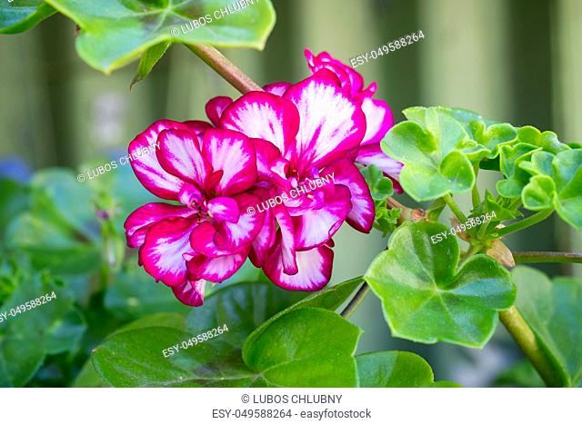 Royal pelargonium flowers - Pelargonium grandiflorum. Geranium flowers in bloom