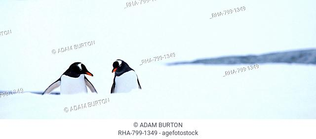 Gentoo penguins in the snow on Petermann Island, Argentine Islands, Antarctic Peninsula, Antarctica, Polar Regions
