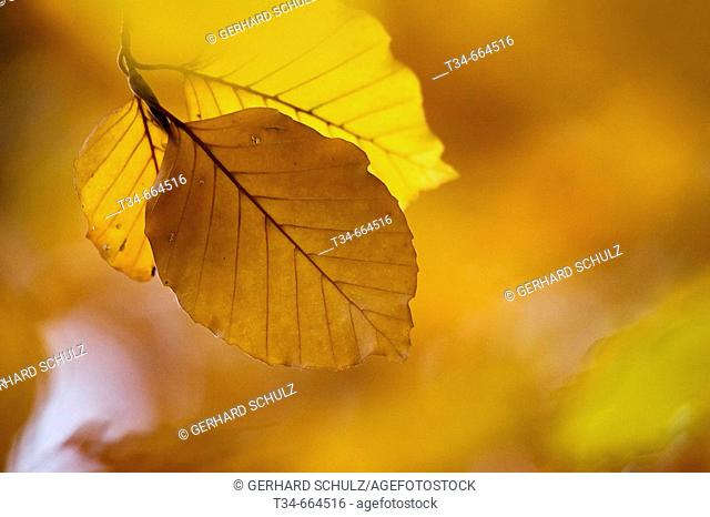 Leaves of Common Beech Trees at Autumn (Fagus sylvatica), Schleswig-Holstein, Germany