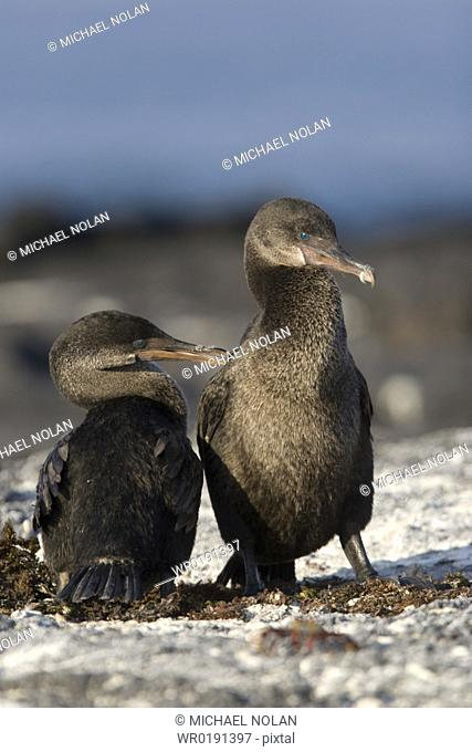Flightless cormorant Nannopterum harrisi in the Galapagos Island Group, Ecuador This Galapagos endemic cormorant has lost the ability to fly as there are no...