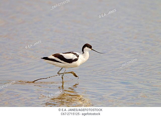 Avocet Recurvirostra avocetta feedng at Titchwell Norfolk