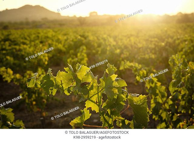 Premsal grape plantation, cami de Felanitx, Celler Mesquida-Mora, Porreres, Mallorca, Balearic islands, Spain