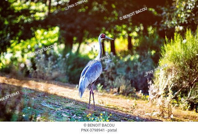 Japanese crane in the countryside