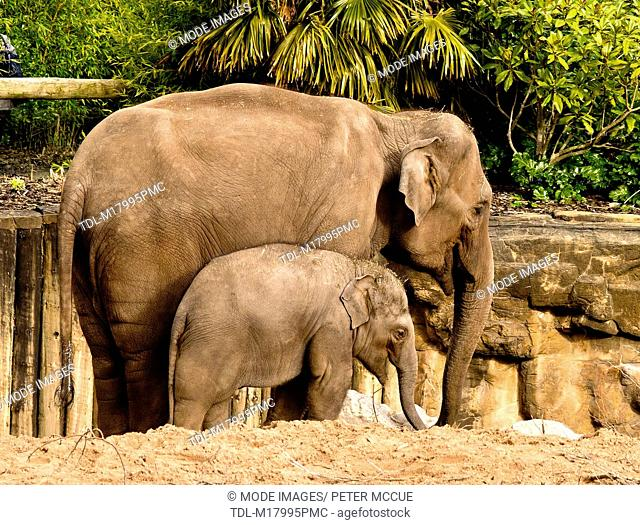 A mother and a baby Asian elephant, Elephas maximus