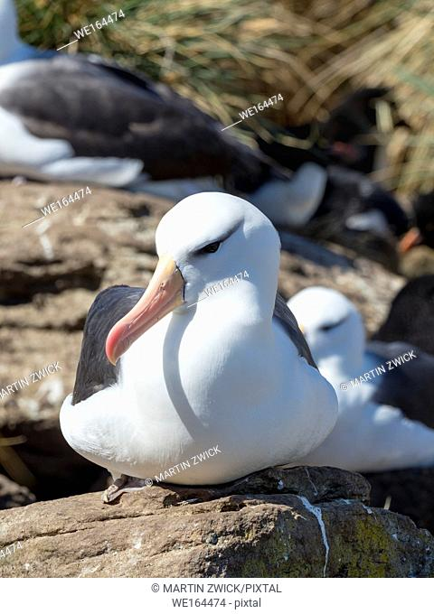 Black-browed albatross or black-browed mollymawk (Thalassarche melanophris). South America, Falkland Islands, November
