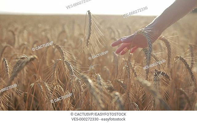 Female hand touching wheat spikes at sunset light