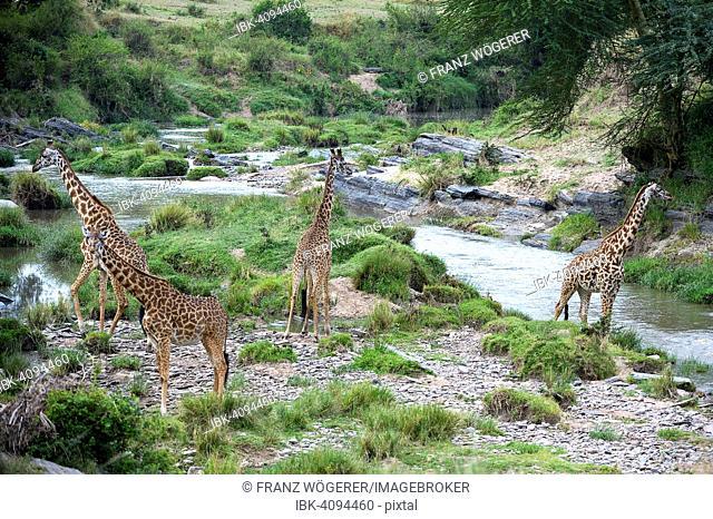 Masai giraffes (Giraffa camelopardalis tippelskirchi), herd at the Talek River, safeguarding all sides, Maasai Mara National Reserve, Kenya
