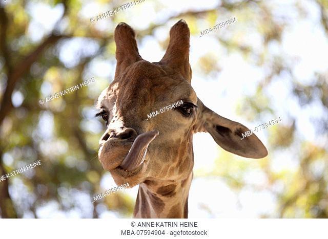 Giraffe, Dortmund Zoo, Germany