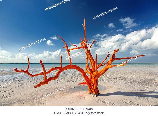 Bahamas, Harbour Island, Lone Tree