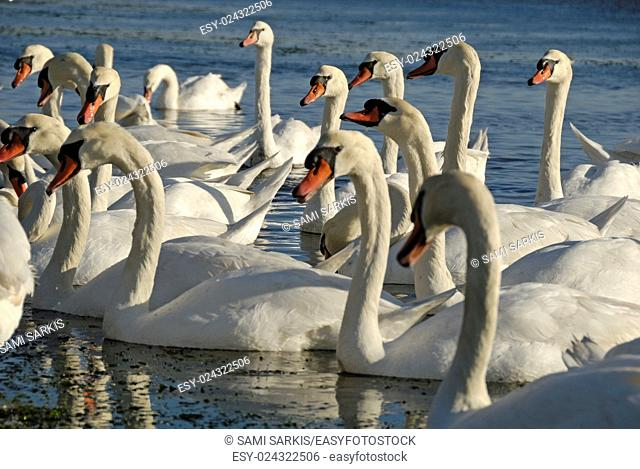 Group of wild Swans in Berre pond, Berre l'Etang, Provence, France, Europe